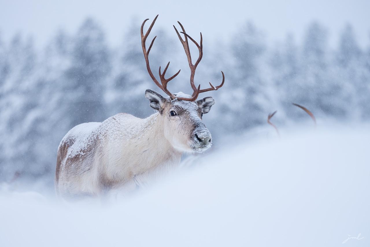 Renne sous la neige