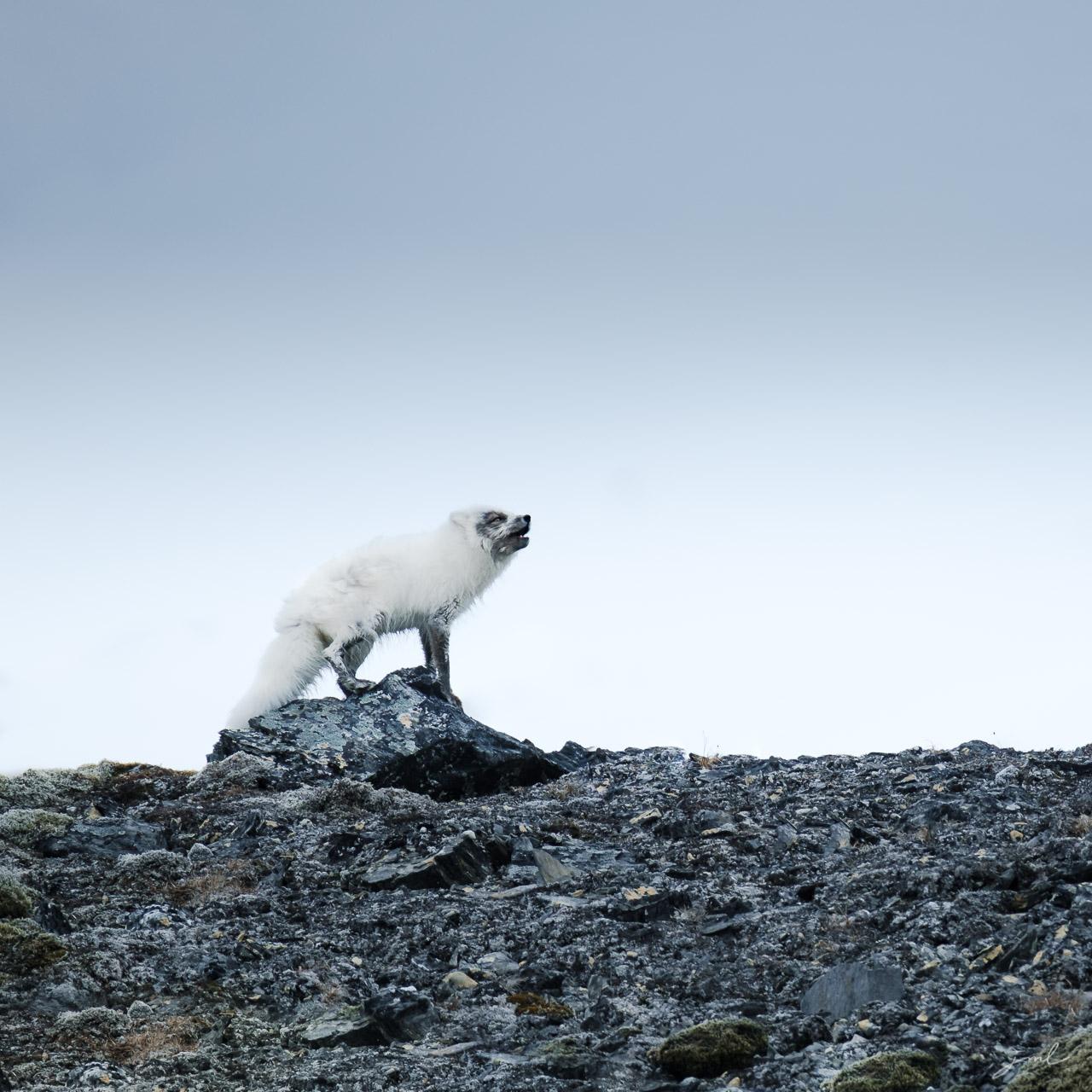 Ours polaire marchant dans la neige