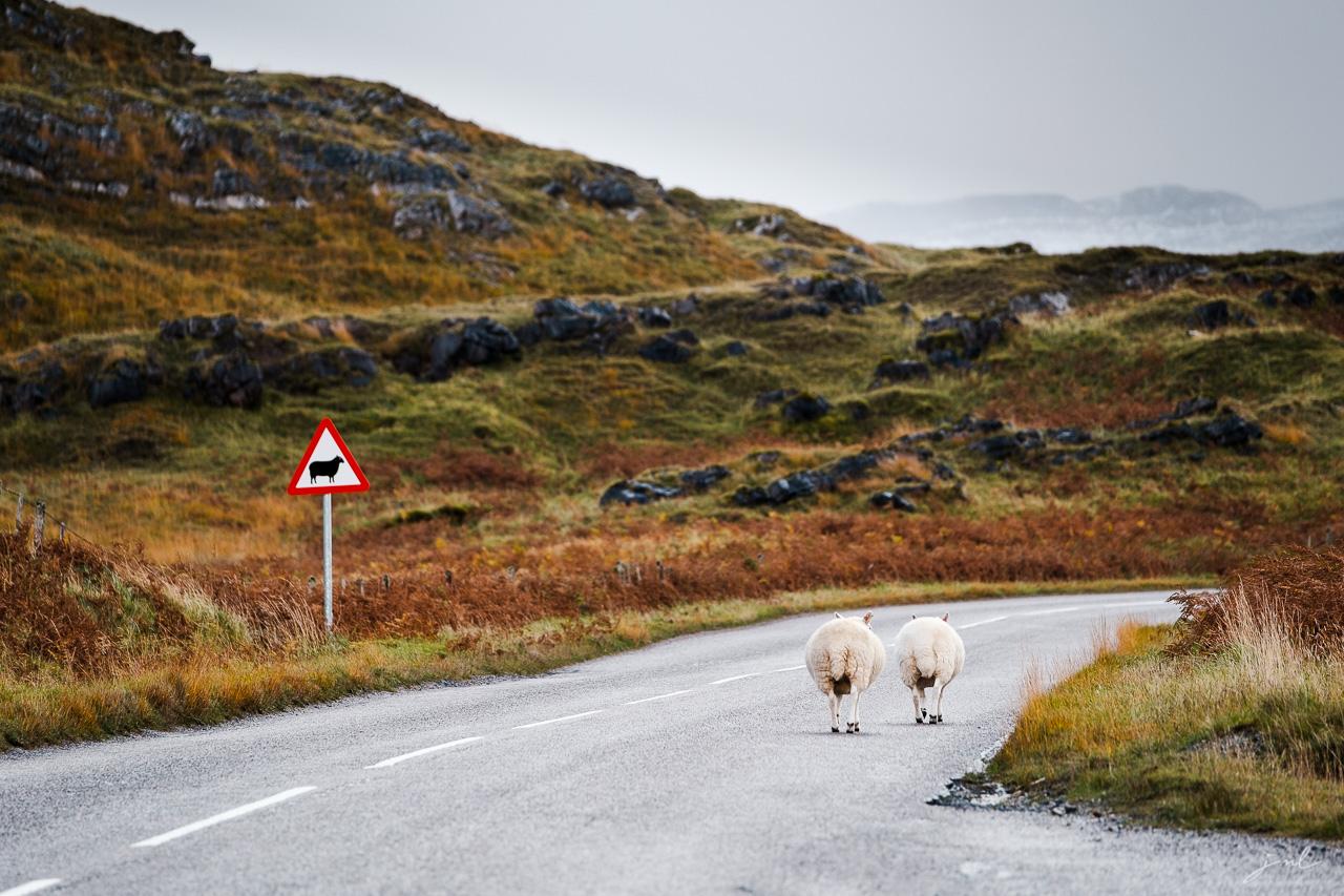 Mouton en Ecosse